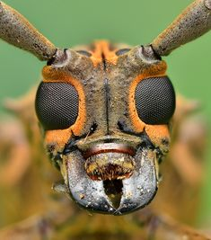 Longhorn Beetle face - If bugs needed a handsome man for on TV and such, it would be this guy Macro Fotografie, Fotografia Macro, Insect Eyes, Insect Art, Beetle Insect, Beetle Bug, Cool Insects, Bugs And Insects, Reptiles