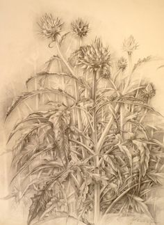 'Cardoons in the garden' by Moira McTague. Drawn from life, in the garden, the drawing is graphite on paper and shows my cardoon plant with it's stately heads and structural stems and leaves. It was quite a challenge and the initial idea was only to draw a small section, but the drawing grew and became more intricate.... Image size 65 x 45 cm