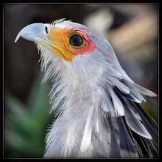 Secretary bird with lovely eye shadow.