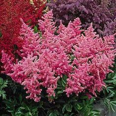 Peach Blossom Astilbe: need to remember this colorful shade perennial for our shady yard. Plant in fall.
