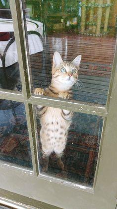 15 June 18 Reginald Flamethrower  my half Bengal kitten is so big now! Eyes are looking greener now.