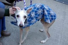 PHOENIX aka CARROT – A1100242  MALE, BR BRINDLE / WHITE, WHIPPET MIX, 6 yrs STRAY – ONHOLDHERE, HOLD FOR HOSPITAL Reason OWNER HOSP Intake condition UNSPECIFIE Intake Date 12/21/2016, From NY 11354, DueOut Date 12/28/2016, I came in with Group/Litter #K16-084889