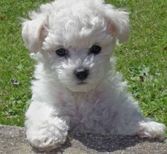 Puppy. So adorable!  Remind me of my favorite dog ever (the toy poodle I had as a child)