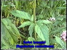Léčivé rostliny (Medicinal plants) - Video herbář 121 rostlin - YouTube