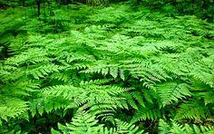 Les fougères sont un très bon paillis pour couvrir le sol, car elles sont riches en nutriments. Le paillis de fougère n'est pas acidifiant comme peut l'être au bout de quelques années un paillis de résineux (ex : pin, sapin...), bien que les fougères poussent souvent en sol acide. On étale les feuilles - coupées en petits morceaux ou broyées - en une couche de 3 cm ou un peu plus, qu'elles soient vertes ou sèches. C'est un paillis très adapté par exemple pour les fraisiers, l'oignon…