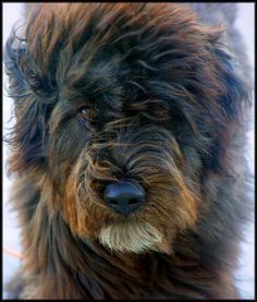 My Love... bouvier des flandres... puppy dogs
