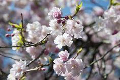 目黒川の桜 Vol.1 ― 2015年3月31日 満開の桜 東京の桜の名所では毎年上位にランクインする目黒川は、北沢川と烏山川が合流する世田谷区から目黒区を通り、品川区の天王洲アイル付近で東京湾に注ぐ約8kmの河川です。 川というよりも、ちょっと大きめの用水路のような小さな川です。  東急田園都市線・池尻大橋駅とJRなどの目黒駅近くまでを結ぶ約3.8kmの川沿いに約800本のソメイヨシノが咲き競っています。 目黒駅はJR山手線、東急目黒線、東京メトロ南北線、都営地下鉄三田線が利用できます。