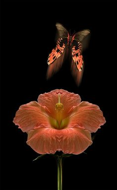 The elusive, devil's butterfly, by peter holme iii..... animal insect butterfly flora floral bloom blossom hibiscus flower orange fauna mystery drama color #light