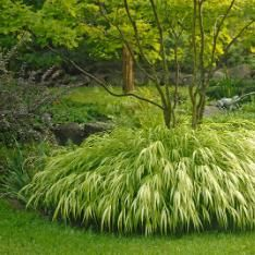 Japanese Forest Grass (Hakonechloa macra 'Aureola', zones 5 to My favorite is the variegated variety. I planted mine under a Japanese maple, and the contrast was genius and it has so much movement. traditional plants by Stark Bros Plants, Grasses Garden, Outdoor, Ornamental Grasses, Japanese Garden, Outdoor Gardens, Dream Garden, Shade Plants, Landscape