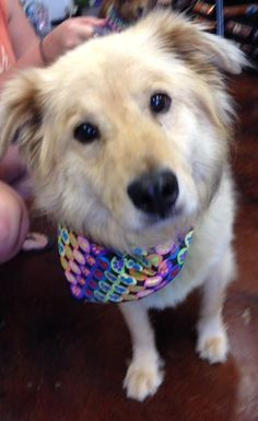 Meet Stewie, a Petfinder adoptable Golden Retriever Dog | Columbia, MO | Stewie is a very sweet, well adjusted boy who loves to cuddle, get belly rubs.  Stewie is cat, dog...