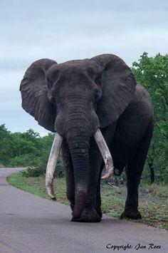 Big tusker - Letaba, Kruger National Park