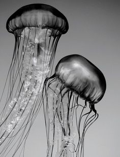 Jellyfish Art Black and White Nature Photography by Penumbra Images, 25.00