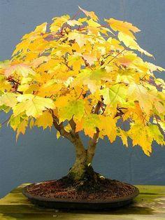 Bonsai Autum #bonsai Autumn #bonsaitrees