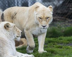 Walking angry lioness
