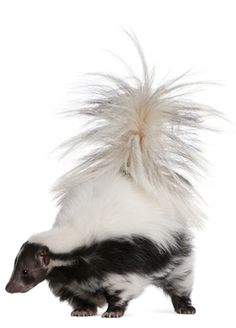 how to clean skunk smell out of dog