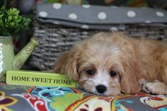 Foxglove Farm is the top breeder of Cavachon puppies. Visit the site to learn more and find a new puppy friend. Cavachon Puppies, Cavapoo, New Puppy, Puppies For Sale, Cute Pictures, Dogs, Animals, Animales, Animaux