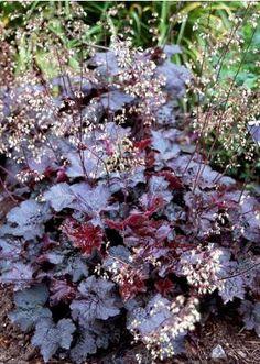 Heuchera micrantha diversifolia Palace Purple - Présentation