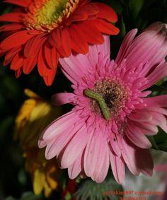Jarbera Flowers