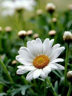 A perfect daisy Happy Flowers, Flowers Nature, My Flower, White Flowers, Flower Power, Beautiful Flowers, Anemone Flower, April Flower, Sunflowers And Daisies