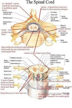 Internal and External Anatomy and Physiology of the Spinal Cord Diagram Spinal Cord Anatomy, Spinal Cord Injury, Nursing Tips, Nursing Notes, Medical Coding, Medical Science, Medical School, Spine Health, Medical Anatomy