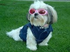 This is Casey wearing Doggles and a denim jacket by Gooby. She is a 2 year old half Shih Tzu, half Lhasa Apso Perro Shih Tzu, Shih Tzu Hund, Shih Tzu Puppy, Shih Tzus, Pet Puppy, Lhasa Apso, Yorkies, Cute Puppies, Cute Dogs