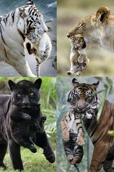 Big cats with their babies. Cute Little Animals, Cute Funny Animals, Funny Animal Pictures, Cute Cats, Funny Cats, Beautiful Cats, Animals Beautiful, Big Cats, Cats And Kittens
