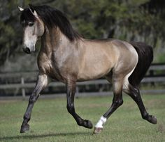 Breed Focus: Portugal: The Lusitano Horse, Garrano and Sorraia Most Beautiful Animals, Beautiful Horses, Beautiful Creatures, Beautiful Places, Majestic Horse, All The Pretty Horses, Horse Pictures, Animal Pictures, Belleza Natural