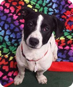 Akron, OH - Jack Russell Terrier Mix. Meet Arden, a dog for adoption. http://www.adoptapet.com/pet/12475467-akron-ohio-jack-russell-terrier-mix