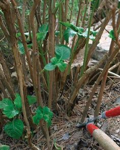 Garden Planning Pruning Hydrangeas - whether it blooms on new or old wood makes a difference as to when and how to prune Pruning Plants, Pruning Hydrangeas, Garden Plants, Planting Flowers, Shade Garden, When Do Hydrangeas Bloom, Caring For Hydrangeas, Herb Garden, Garden Totems