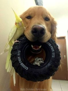 Golden Retriever Is BFFs with Eight Birds and a Hamster Hamster Life, Bffs