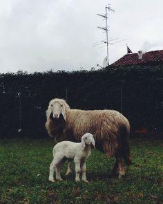 mama + baby sheep