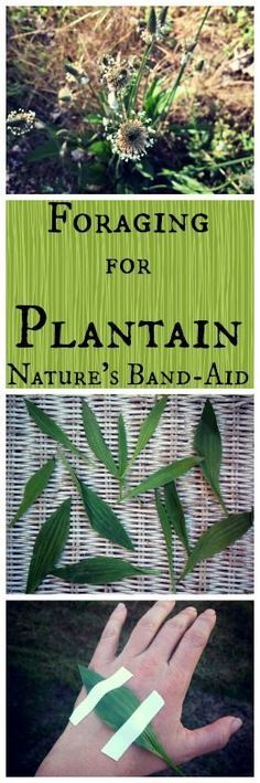 Foraging for Plantain: Nature's Band-Aid~ Sometimes weeds are our best medicine! www.growforagecookferment.com