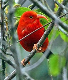 The Iiwi (Hawaiian Honey Creeper)(Vestiaria coccinea). This small and handsome bird is the only member of the genus Vestiaria, and at the present time although its numbers are up at 350,000 it is still considered endangered.