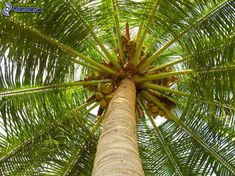 coconut tree by asramnath Top 16 Benefits of Coconut Oil, Uses For Coconut Oil Oil Pulling, Coconut Allergy, Coconut Oil Uses, Palmiers, Nature Tree, Tree Wedding, Christmas Tree Decorations, Tree Branches, Palm Trees