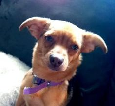Carly is an adoptable Chihuahua Dog in Bethel Park, PA. Hi I'm Carly!! I am a 1 year old Chi mix. My foster mommy says I 'have it all' what ever that means? I'm house trained , great with other dogs, ...