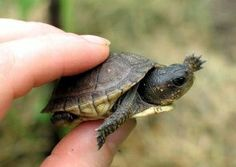 9 Baby Turtles Ideas Baby Turtles Pet Turtle Turtle