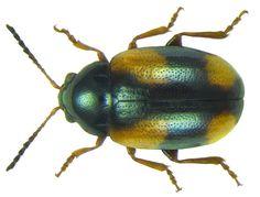 Family: Chrysomelidae Size: 3.2 mm Location: Namibia, Otjiwarongo, Waterberg, 1700 m U.Schmidt leg, 16.III.1994; det. Mauser, 2011 Photo: U.Schmidt, 2012