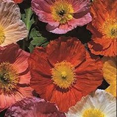 Poppy Iceland Giant Seeds - Irish Plants Direct
