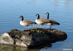 Three Canada geese standing in line on a log.