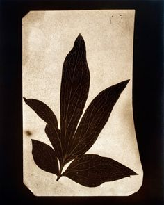 """Positive printed from original William Henry Fox Talbot negative """"Leaves of Paeony, June 1839"""" by Hiroshi Sugimoto."""