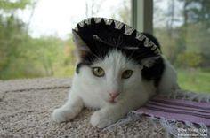 Happy Cinco de Meow!  #cats
