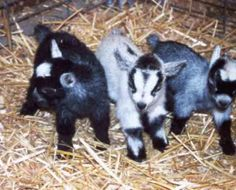 African Pygmy Goat Kids! Yay!! Gunna raise these lil buggers ;)