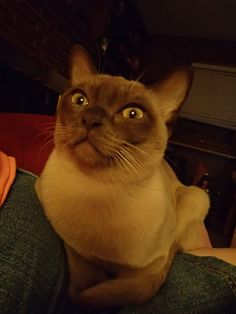 Sir Winston Churchill - Burmese - Show cat...