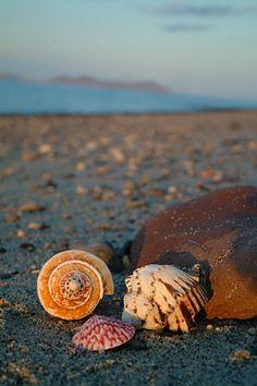 Seashells on the beach of Sea of Cortez. Photographer Sarka Holeckova (Flickr: sarka-trager), San Francisco, CA.