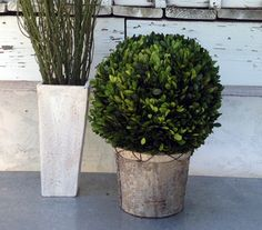Preserved Boxwood Ball 10 Inch