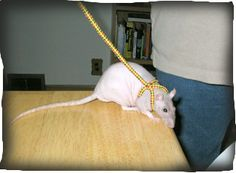 Shoe Lace Rat Leash and harness - w/ Instructions Rat Harness, Rat Care, Rat Dog, Dumbo Rat, Fancy Rat, Cute Rats, Animal Projects, Diy Stuffed Animals, Guinea Pigs