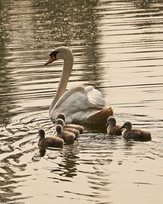 Swan with Cygnets at Charnwood Water by sue_hutton, makes me think of Tchaikovsky's 'Swan Lake'