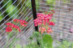 Oravankesäpesä | Punakärsämö Achillea millefolium 'Paprika'