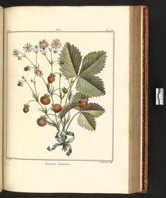Strawberries. Plate from 'Traite des arbres fruitiers.' Author M. Duhamel du Monceau (1768). archive.org