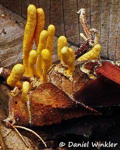 Cordyceps locustiphila Bolivia